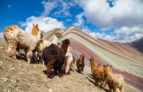 レインボーマウンテンのリャマ|ペルーでの撮影