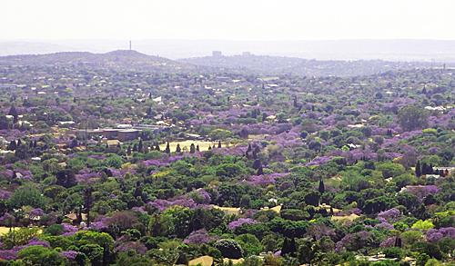 プレトリアのジャカランダ俯瞰|南アフリカ