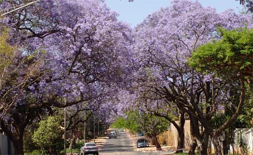 プレトリアのジャカランダ穴場|南アフリカ
