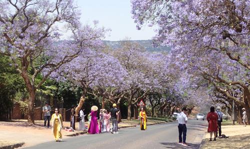 プレトリアのジャカランダ|南アフリカ